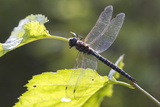 A Common Hawker Dragonfly at Rest on a Leaf Stem at Bartlett Cove
