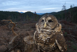 A Rare Northern Spotted Owl in a Clear Cut Area