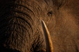 A Wild Bull Elephant Comes to Drink at the Ithumba Stockade