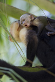 An Adult and Juvenile Brown Capuchin Monkey