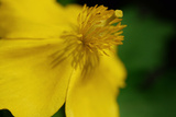 Close Up of a Yellow Wood Poppy Flower  Stylophorum Diphyllum