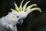 Portrait of a Sulphur-Crested Cockatoo