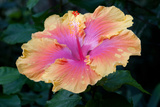 Close Up of a Bon Temps Hibiscus Flower