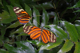 A Courting Pair of Tiger Long Wing Butterflies  Heliconius Ismenius  on Ferns