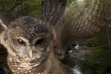 A Federally Threatened Northern Spotted Owl in a Healthy Habitat