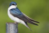 Close Up Portrait of a Tree Swallow  Tachycineta Bicolor  Perched on a Metal Pole