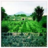 Roman Walls and Vineyards in Pompeii and Mount Vesuvius in the Background