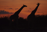 Silhouette of Two Giraffes Standing Walking across the Frame in the Sunset  Botswana