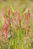 Close Up of Sheep Sorrel  Rumex Acetosella  and Grass