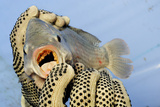 A Tilapia Reveals a Mouthful of Eggs That Will Be Extracted for Hatching at a Farm