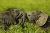 Medium Close-Up of Two Elephant Calves Playing Between the Herd  Botswana