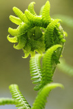 Close Up of a Fiddlehead Fern Frond Unfurling