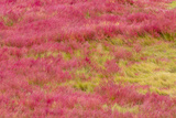 Brilliantly Colored Grasses on Mason's Island in the Fall