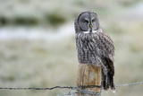 A Great Grey Owl Hunts from the Top of a Fence Post