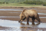 A Brown Bear Drinks Water from a Katmai Floodplain