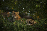 A Leopard and Her Cub Resting in a Tree Top