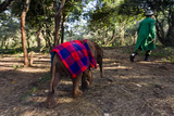 An Orphaned African Elephant with a Sleeping Blanket Follows a Carer Through the Forest