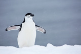 A Chinstrap Penguin Walking in a Snow Shower