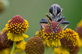 A Robber Fly Sits  Asilidae on a Red and Yellow Flower