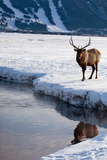 A Bull Elk  Cervus Canadensis  in a Snowy Landscape