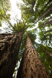 Looking Up the Trunks into the Canopies of Towering Redwood Trees