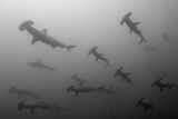 Scalloped Hammerhead Sharks  Sphyrna Lewini  Swimming