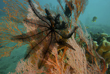 A Feather Star Crinoid on a Sea Fan