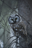 Portrait of a Boreal Owl  Aegolius Funereus  Perched on a Tree Branch