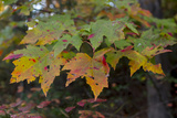 Maple Leaves Display their Vibrant Autumnal Colors