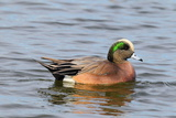 Portrait of a Male American Wigeon  Anas Americana  Swimming