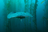 An Electric Torpedo Ray in a Kelp Forest on Cortes Bank