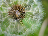 The Seeds of a Dandelion Flower Begin to Give Way to the Wind