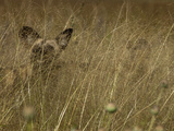 A Cape Hunting  or African Wild Dog  Camouflaged in Tall Grass