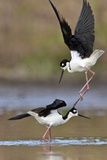 A Pair of Black-Necked Stilts  Himantopus Mexicanus  Fighting over a Female