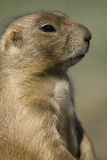 Close Up Portrait of a Prairie Dog  Cynomys Species