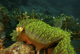 An Anemonefish Keeping Close by a Large Sea Anemone