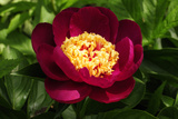 Close Up of a Large Red Peony Flower  Paeonia Species  in Spring