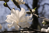 Close Up of a Flowering Branch of Star Magnolia Tree