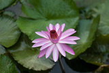 Lily Pad and Flower on Bora Bora Island