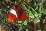 A Clownfish in the Wayag Island Region of Raja Ampat