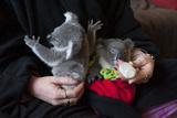 A Woman Hand-Feeds Orphaned Koalas