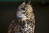 Portrait of a Spotted Eagle-Owl  Bubo Africanus