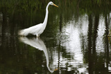 A Great Egret  Ardea Alba  Wading in a Pond
