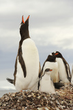 A Gentoo Penguin  with Chick  Vocalizing