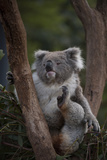 A Federally Threatened Koala at a Wildlife Sanctuary