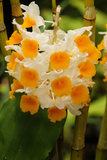 A Raceme of Orange and White Orchid Flowers
