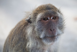 A Portrait of a Macaque