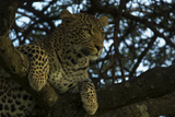 A Leopard Lying in a Tree