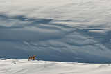 A Red Fox in a Snow Covered Landscape