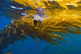 A Harbor Seal Peers from a Kelp Forest on Cortes Bank